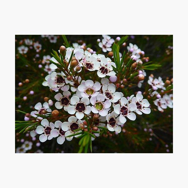 Chamelaucium uncinatum, Geraldton Wax Photographic Print