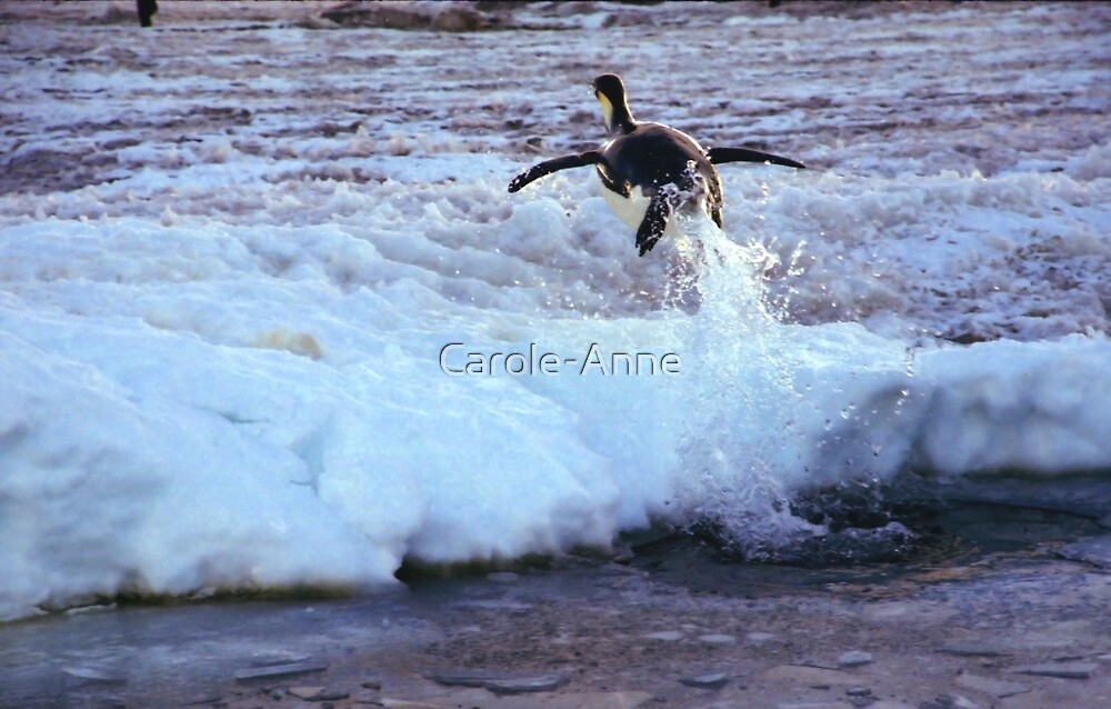 Emperor Penguin 'Flying' Home by Carole-Anne
