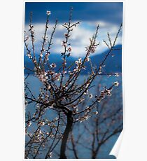 Spring Blossoms- Lake Jindabyne, Snowy Mountains Poster