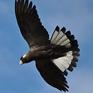 Black Cockatoo In Flight on a Sunday Morning by Coralie Plozza