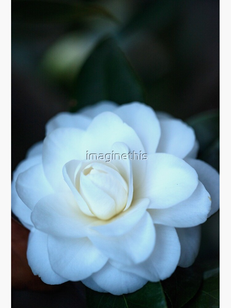 Pure White Camellia Art Board Print By Imaginethis Redbubble