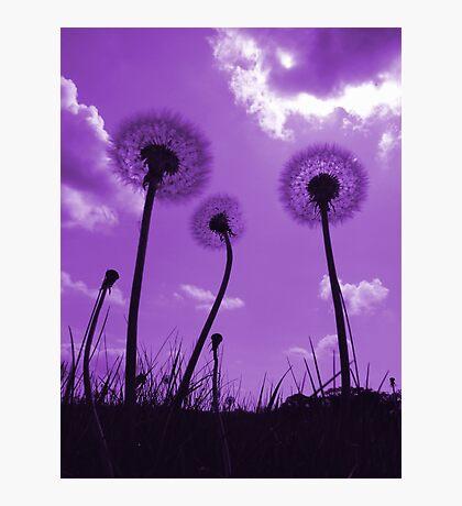 Dandelions in Purple Photographic Print