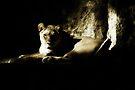 Lioness by KatsEyePhoto