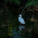 Side View of Duck in the Shallows by lillijy97