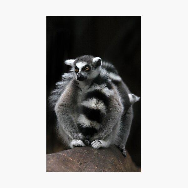 Ring-Tailed Lemur Photographic Print