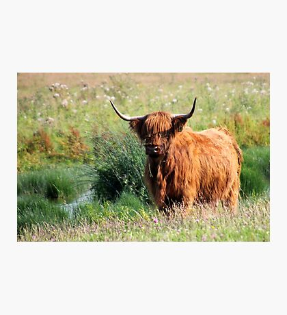 Fluffy Cow Photographic Print