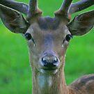 Fallow Deer, Cornwall, June 2019 by RedHillDigital