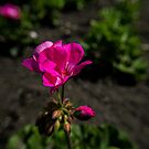 Magenta Flower in the Park by lillijy97