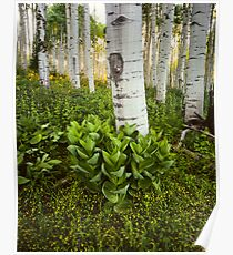 Aspen and Corn Lily Poster