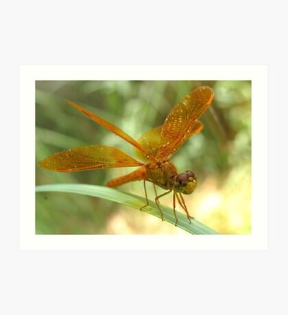 Dragonfly ~ Mexican Amberwing (Male) Art Print