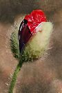 Birth of a Poppy by Eve Parry