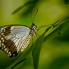 Mocker Swallowtail by Michael Cummings