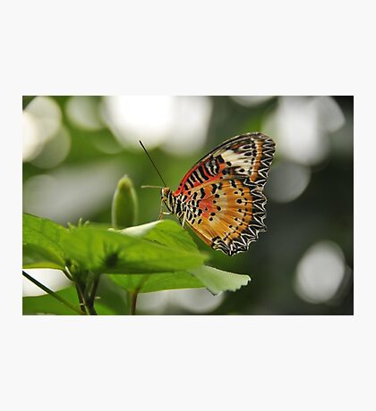 Leopard Lace Wing Photographic Print