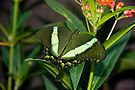 Emerald Swallowtail by Michael Cummings