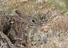 Desert Cottontail ~ A.K.A. Audubon's Cottontail by Kimberly Chadwick