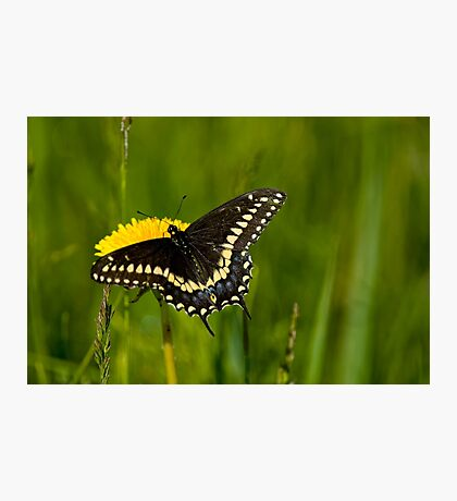 Eastern Black Swallowtail Photographic Print