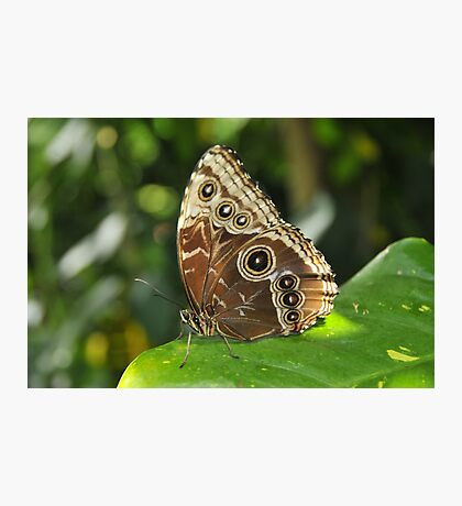Blue Morpho Photographic Print