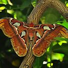 Atlas Moth by Michael Cummings