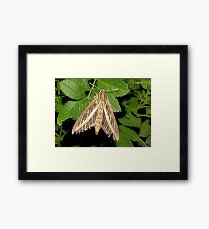 White-lined Spinx Moth Framed Print