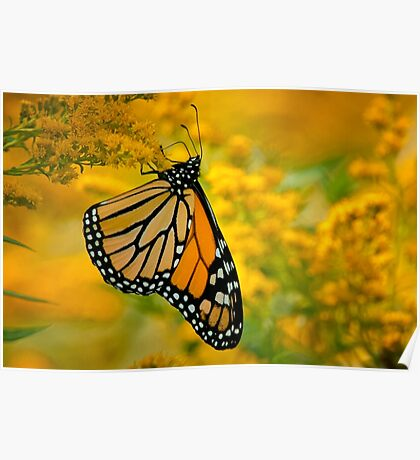 Monarch Butterfly on Goldenrod Poster