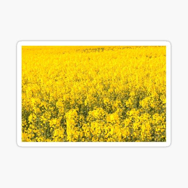 gelbes Feld der Blume (Rapssamen) Sticker