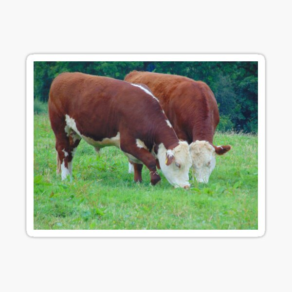 Traditional Hereford Steer Grazing Sticker