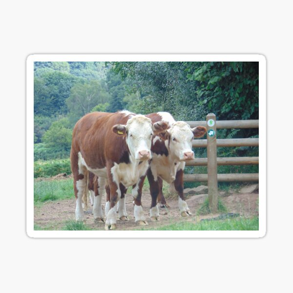 Herefords on Nature Reserve Sticker