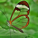 *GRETA OTO* *ESPEJITOS* *GLASSWING BUTTERFLY* by Johan  Nijenhuis