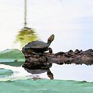 Lazy Day Turtle by SuddenJim