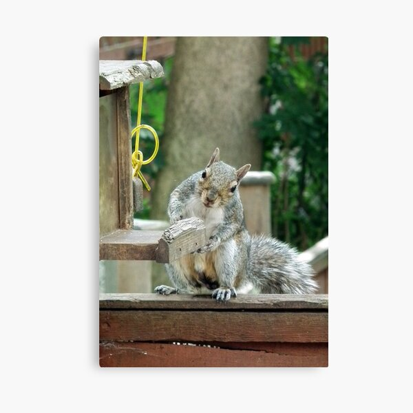 Squirrel 9 - have you seen my nuts? Canvas Print