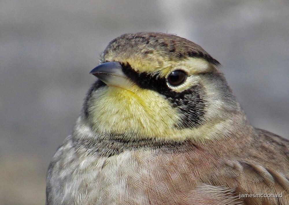 horned lark by jamesmcdonald