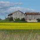 Canola Farm- Scugog Island, Port Perry Ontario Canada by Tracy Wazny