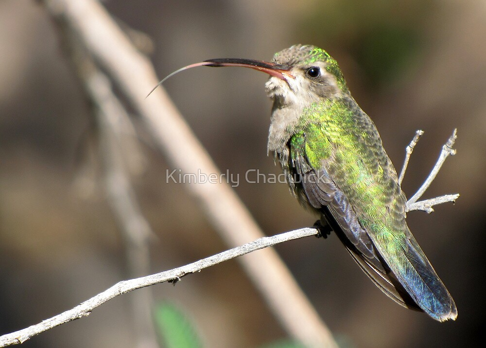 Hummingbird ~ Broad-billed (Female)  by Kimberly Chadwick