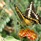 Butterfly ~ Giant Swallowtail by Kimberly Chadwick
