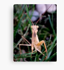 Mantis - In The Grass Canvas Print