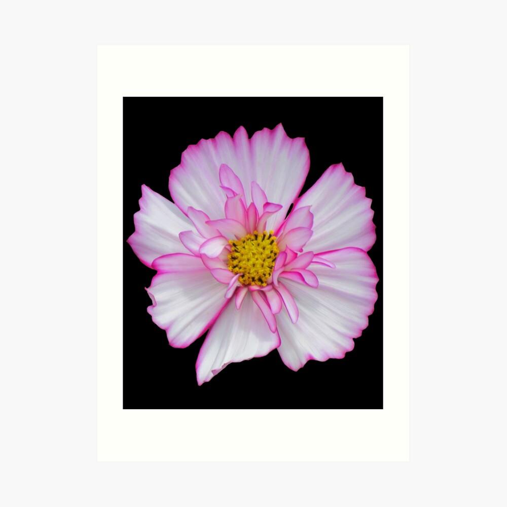 Blume in pink & weiß, Blumen, Blüte, Garten, Natur Kunstdruck