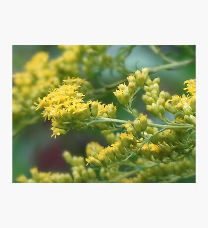 Early Goldenrod  Photographic Print