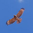 Red Tailed Hawk by nauticalelf