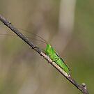 Katydid by tarnyacox