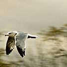 Seagull by Sue Ratcliffe