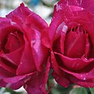 Gemini Roses by chrisuk