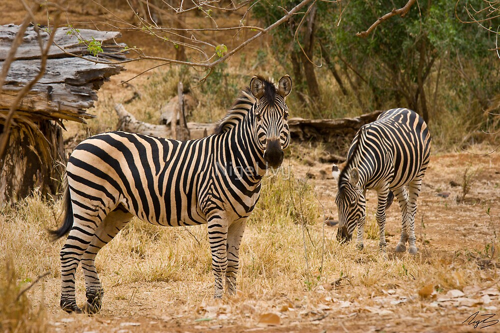 A pair of Zebra by Nigel Ivy