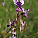Purple Diuris (Diuris punctata) - Gippsland by Bev Pascoe