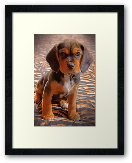 Gracie II - A Beagle cross King Charles Spaniel by Mark Richards