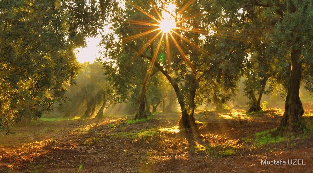 lights in olive farm by Mustafa UZEL