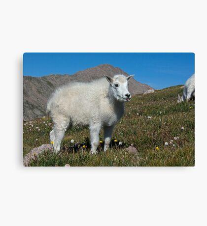 Little Mountain Goat Canvas Print