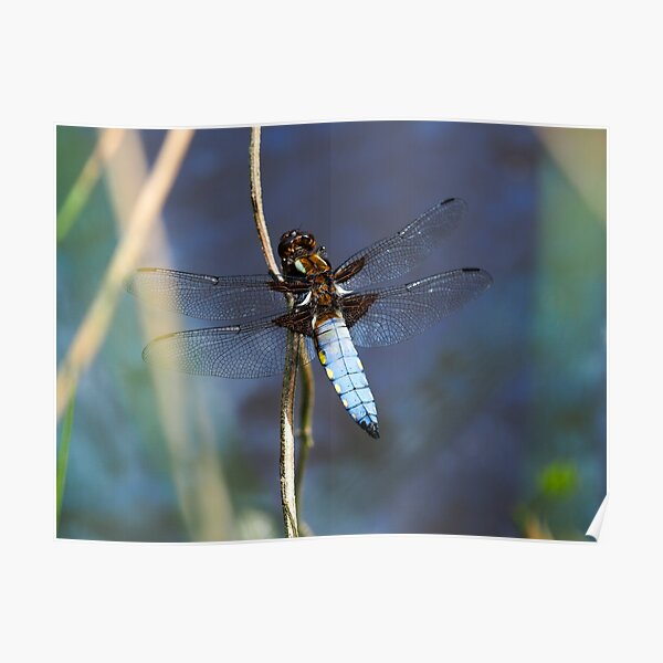 Broad-bodied Chaser Dragonfly Poster