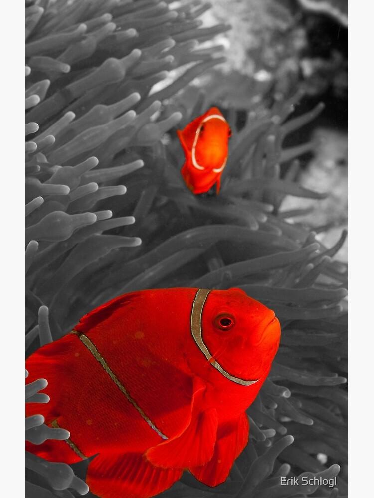 Spinecheek Anemonefish - selective colourisation by eschlogl