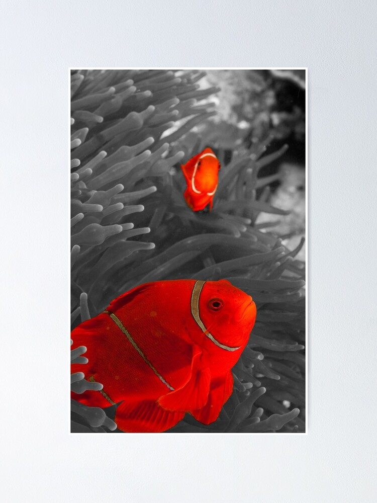 Alternate view of Spinecheek Anemonefish - selective colourisation Poster