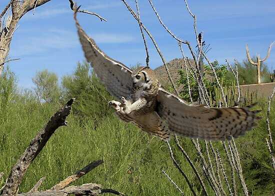 Great Horned Owl ~ 6 months old by Kimberly Chadwick